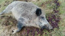 На Буковині виявили загиблого дикого кабана з африканською чумою