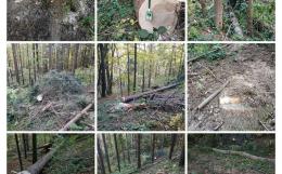 На Буковині активісти виявили порубку хвойних дерев у лісах