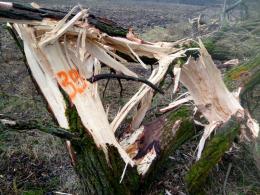 У лісництві на Буковині пошкодили майже сотню дерев (фото)