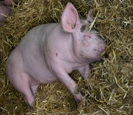 На Буковині виявили трупи свиней, які заражені африканською чумою