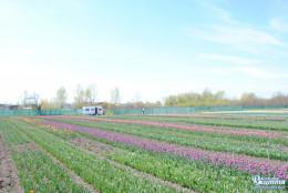 На Буковині розцвіло тюльпанове поле