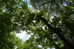 У Чернівцях знайшли рідкісний вид дуба