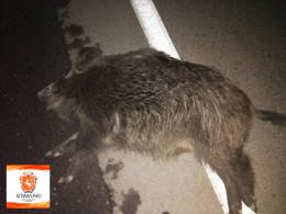 Неподалік Чернівців на трасі «Мерседес» збив чотирьох вепрів (фото)