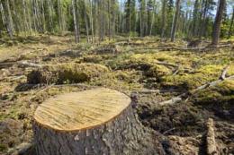 На Буковині лісівник приховував вирубки і продавав ліс
