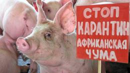 Свині на Буковині могли заразитися через корм