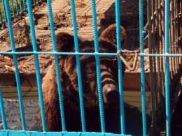 У зоопарку на Буковині вперше за три роки має народитися ведмежатко