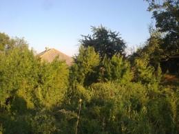 Буковинець вирощував коноплю на городі своєї матері (фото)