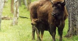 У Чернівецькій області в вольєрі народилися двоє маленьких зубрів (відео)
