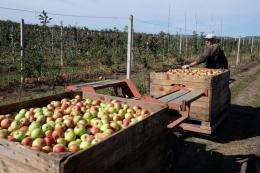 Фермери Буковини обурені низькими цінами на яблука