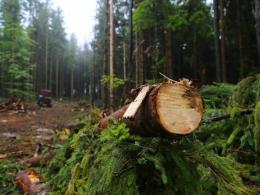 На Буковині керівника одного з лісництв звільнять через незаконні вирубки