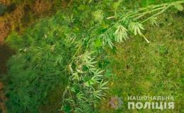 У Чернівцях чоловік у себе на подвір'ї вирощував коноплю