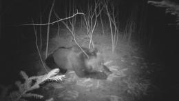 На Буковині лісівники зафіксували на відео бурого ведмедя (відео)