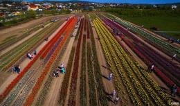 На Буковині на фестиваль тюльпанів у Мамаївці приїхали тисячі туристів (фото)