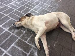 В одному з мікрорайонів міста за тиждень отруїли майже 30 собак (відео)