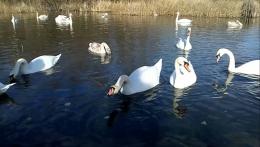 На Буковині до озера в Чорториї почали злітатися лебеді