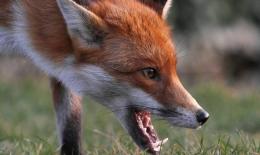 У Чернівцях скажена лисиця покусала домашню собаку