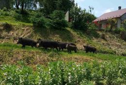 На Буковині в селі по вулиці та городах ходила зграя диких свиней (фото)