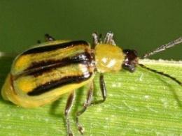 На Буковині запровадили карантин через західного кукурудзяного жука