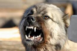У Чернівцях за тиждень 10 безпритульних собак покусали перехожих