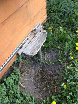 У селі на Буковині масово гинуть бджоли через кроплення садів (фото)