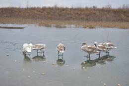 На Буковині в Чорторийському озері лебедям не вистачає місця