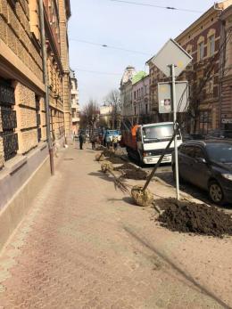 На місці засохлих пнів у центрі Чернівців висаджують молоді липи (відео)