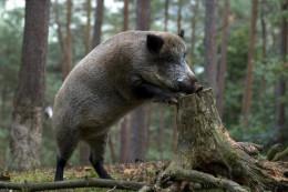 У Чернівецькій області знову виявлено випадок африканської чуми свиней