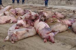 В Чернівецькій області ще в одному селі свині захворіли на африканську чуму