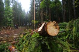 Суд  зобов'язав чернівецький лісгосп  відшкодувати понад 3 мільйони гривень за незаконну рубку дерев
