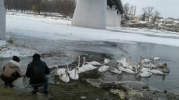Поблизу села Звенячин на березі Дністра поселились лебеді