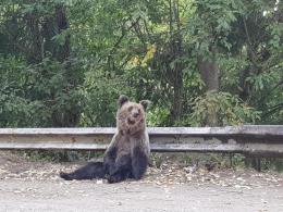 Сім'я буковинців зустріла 6 ведмедів на гірській трасі в Румунії (фото+відео)