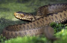 На Буковині чоловіка на власному подвір'ї вкусила змія