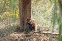 На Буковину для розмноження привезли зграю диких хом'яків (фото)