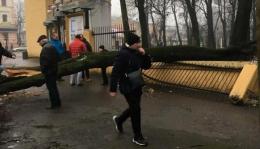 У Чернівцях на Садовій впало велике дерево (фото)