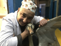Ветеринари розповіли про стан лебедя, якого врятували в Чернівцях