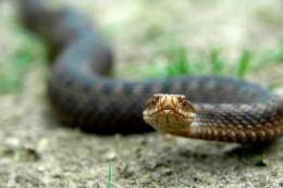 На Буковині хлопець потрапив у реанімацію через укус змії