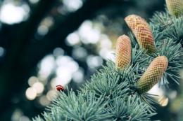 У буковинському лісгоспі вже з'явилися у продажі новорічні ялинки