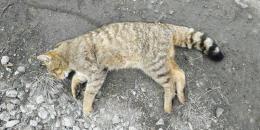 У Чернівецькій області виявили кота лісового, який входить до Червоної книги
