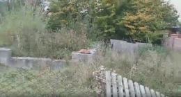 У Сторожинці біля житлового будинку перехожі зафіксували лисицю (відео)
