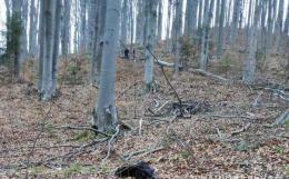 На Буковині дерево впало чоловікові на голову, він у важкому стані