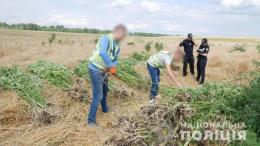 На Буковині поліція задокументувала два незаконні посіви нарковмісних рослин