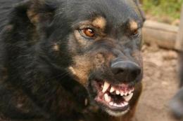 На Буковині собака покусав за голову 7-річну дівчинку
