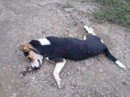 Невідомий викинув собаку біля притулку для тварин у Чернівцях, а потім переїхав її машиною (фото)