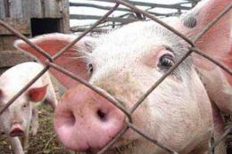 Африканська чума свиней повернулась на Буковину (відео)