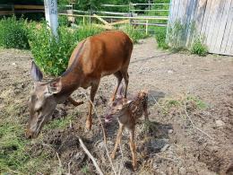 У національному парку «Вижницький» народилося оленятко (фото)
