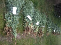 Упродовж одного дня у Кельменцях поліцейські виявили більше 1000 рослин снодійного маку