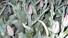 На Буковині через різке зниження температури фермери всю ніч відігрівали тюльпанове поле