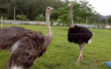 У одному з лісництв на Буковині поселилися страуси