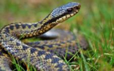 На Буковині медики госпіталізували чоловіка, якого вкусила змія