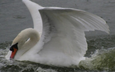 «Белый лебедь» под черновицким соусом (оригінал російською мовою)